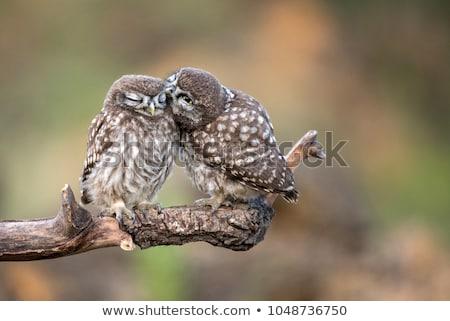 Owls in love Stock photo © adrenalina