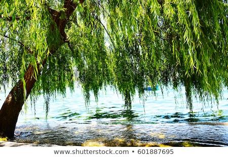 сцена ива деревья парка иллюстрация пейзаж Сток-фото © bluering