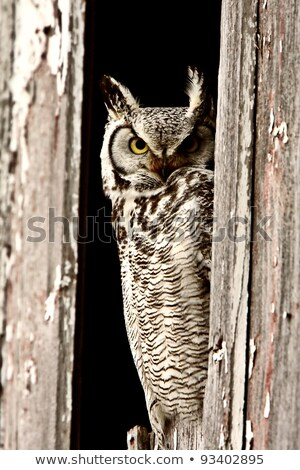 Great Horned Owl in Old Barn Stock photo © pictureguy