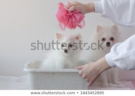 White puppy and children's hand. Stock photo © konradbak