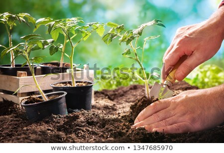 Mão tomates plântula terreno ao ar livre Foto stock © Yatsenko