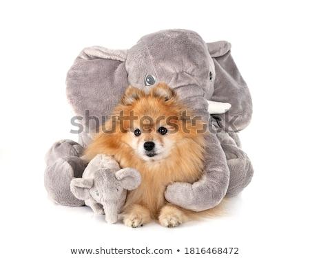pomeranian spitz and cuddly toys Stock photo © cynoclub