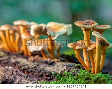 ビッグ · 白 · キノコ · 森林 · ヤマドリタケ属の食菌 · 成長 - ストックフォト © romvo