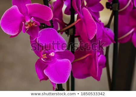 macro photo of delicate petals of a pink orchid with a natural pattern flower background stock photo © artjazz