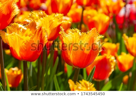 bouquet of pink purple and red tulips stock photo © neirfy