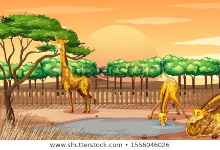 Drie giraffen vijver illustratie tuin achtergrond Stockfoto © colematt