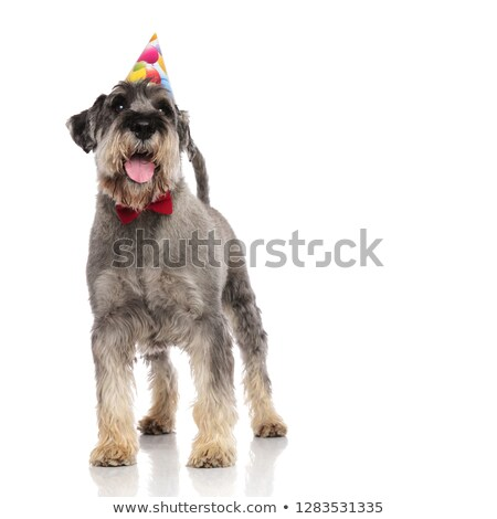 adorable schnauzer wearing red bowtie and birthday hat standing Stock photo © feedough
