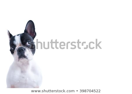 curious dogs looking up on white background Stock photo © feedough