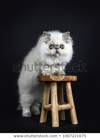 persian longhair cat kitten isolated on black backgroud stock photo © catchyimages