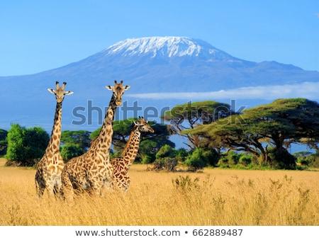 Savanne dieren Mount Kilimanjaro silhouetten wilde dieren afrikaanse Stockfoto © liolle