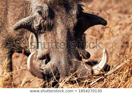 Close up of a Warthog eating. stock photo © simoneeman