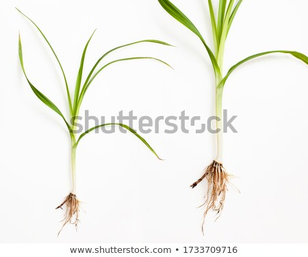 Calamus Herb Root used in Herbal Medicine Stock photo © marilyna