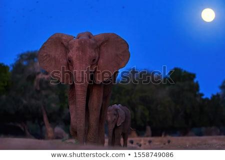 Stock fotó: Elefánt · éjszaka · telihold · égbolt · fény · űr