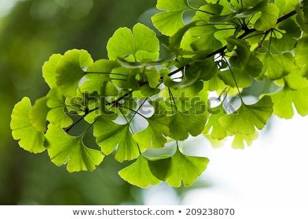 Outdoor ginkgo biloba leaves  Stock photo © deyangeorgiev