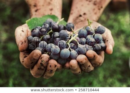 Woman With A Bunch Of Black Grapes Stok fotoğraf © mythja
