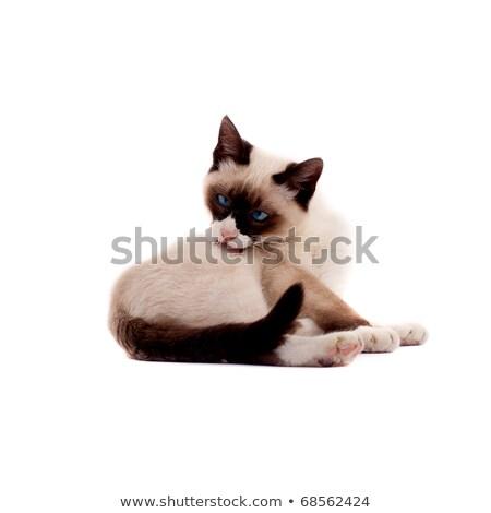 Gyönyörű sziámi macska fénykép arc természet haj Stock fotó © feedough