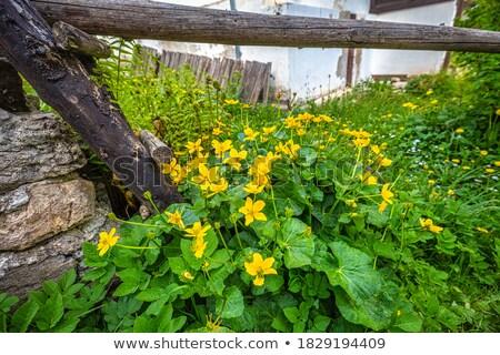amarelo · flores · luxuriante · folhas · verdes · jardim · foco - foto stock © mariematata