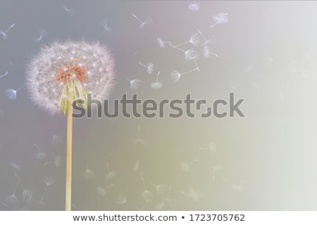 Dandelion flower Stock photo © badmanproduction
