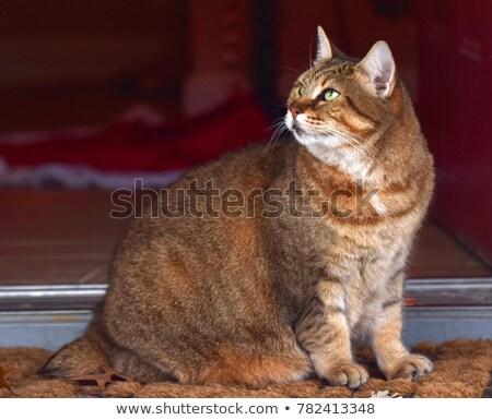 кошки лице глазах фон красоту Сток-фото © LAMeeks