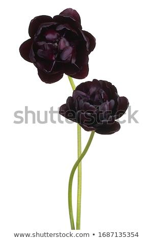 черный Tulip тюльпаны темно зеленый цветы Сток-фото © fogen