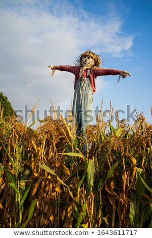 Scarecrow in corn fields  Stock photo © emattil