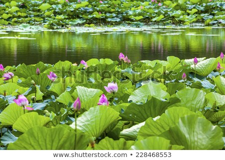 pink lotus garden reflection summer palace beijing china stock photo © billperry