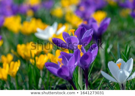 Crocuses in bloom in the spring garden Stock photo © tannjuska