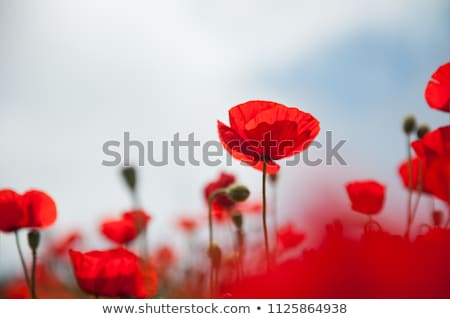 Poppy flower on a green meadow Stock photo © Sportactive