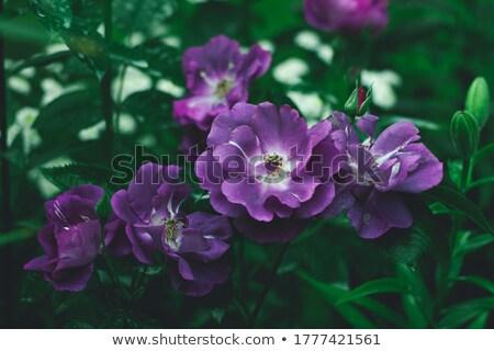 spring rhapsody stock photo © nizhava1956