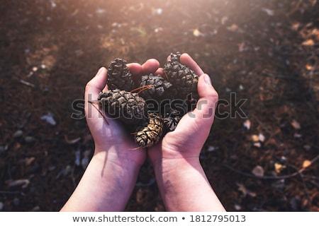 fir cones stock photo © kotenko