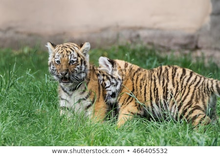 two Amur of tiger  Stock photo © OleksandrO