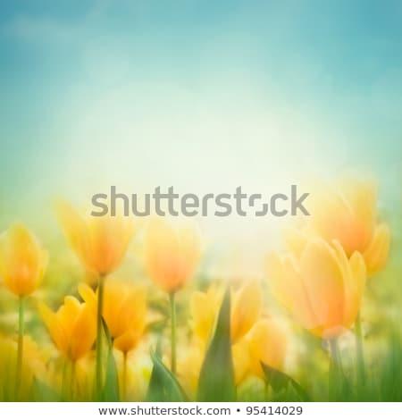Defocused image, blur of field of flowers, tulips Stock photo © photocreo
