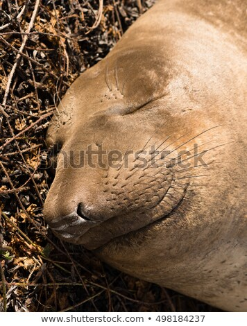 Elephant Seal Wild Mammal Lays Resting Pacific Ocean SeaShore Stock photo © cboswell