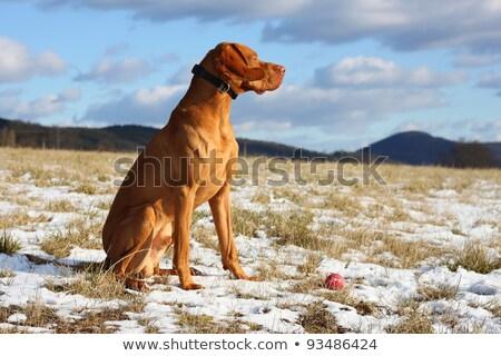 クローズアップ ハンガリー語 肖像 冬 犬 フィールド ストックフォト © brianguest