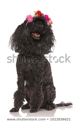 happy seated black poodle wearing flowers headband looks up Stock photo © feedough
