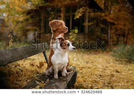 Active senior walking small dog Stock photo © backyardproductions