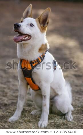 özenli · köpek · uyarmak · beyaz · terriyer - stok fotoğraf © yhelfman