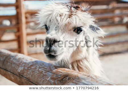 Llama theme image 1 Stock photo © clairev