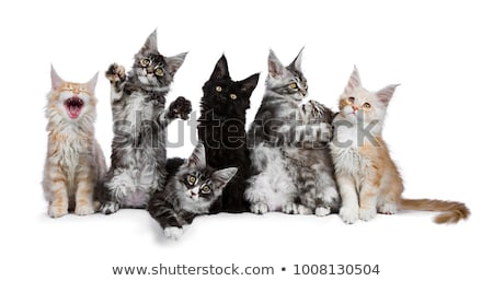 Funny row of seven playing black tabby with white Maine Coons cats Stock photo © CatchyImages