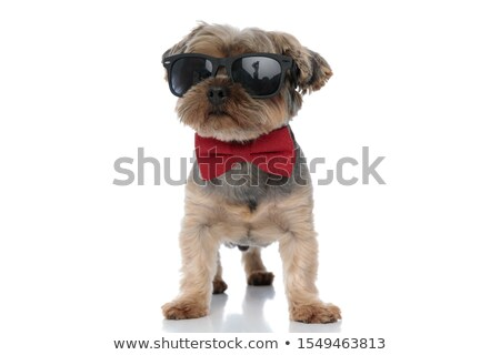 adorable yorkshire terrier wearing red bowtie and sunglasses sta Stock photo © feedough