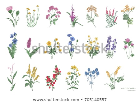 Hypericum flowers on white Stock photo © AGfoto