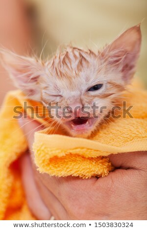 Young kitten dry after bath rolled up in a towel Stock photo © ilona75