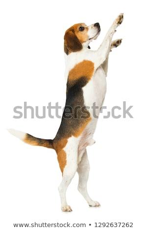 прелестный Beagle Постоянный ног изолированный белый Сток-фото © vauvau