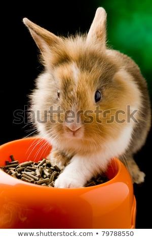 Dwarf Rabbit With Lions Head With His Food Bowl Stock fotó © Francesco83