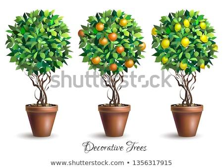 Houseplant citrus fruit tree illustration.  Stock photo © Margolana