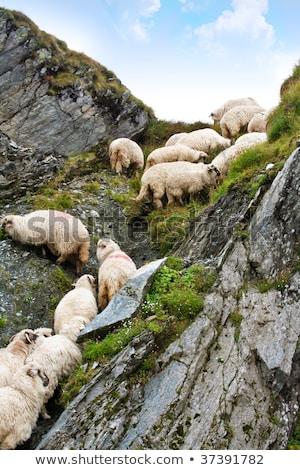 zeckel sheep Stock photo © poco_bw