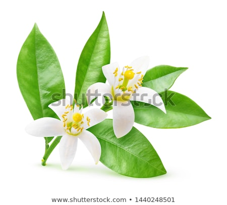 Orange Blossoms Stock photo © lovleah