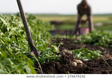 Woman digging potatoes Stock photo © photography33