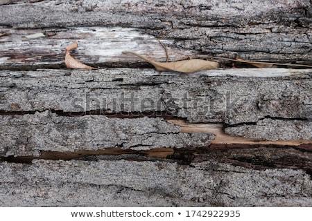 cracked bark detail Stock photo © prill