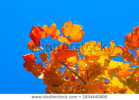hojas · de · otoño · cielo · árbol · naranja · verde · azul - foto stock © Iscatel